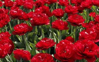 Выращивание тюльпана Миранда