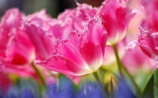 Выращивание махровых тюльпанов