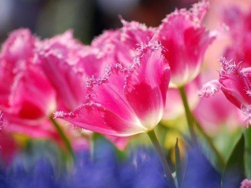 тюльпаны махровые