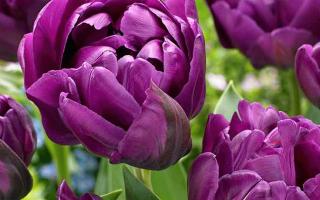 5 советов по выращиванию тюльпанов Пёрпл Принс