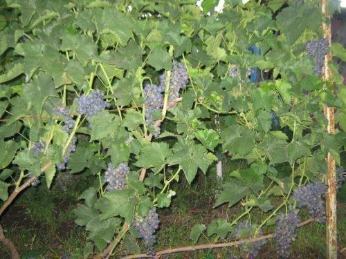 Урожай на кусте Черныша