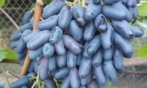 Агротехника выращивания винограда Одесский Сувенир