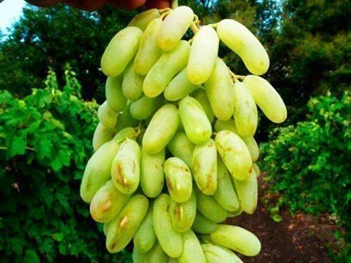 Сорт винограда Хусайне