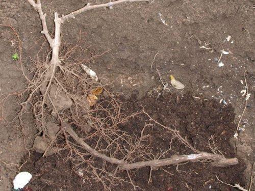 Пересадка виноградного куста весной