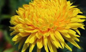 Самые популярные сорта желтых хризантем