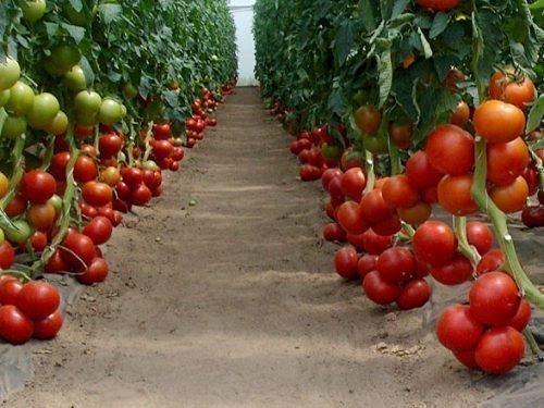 Сорт томатов Бобкат