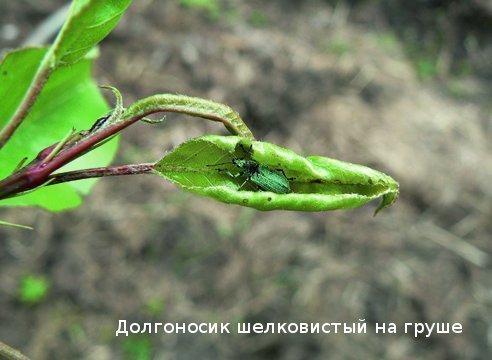 Вредитель долгоносик на груше
