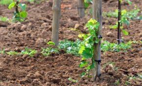 Как правильно садить виноград