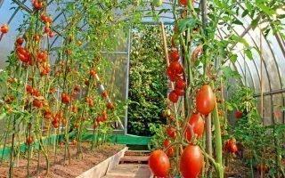 30 лучших сортов томатов для теплиц из поликарбоната