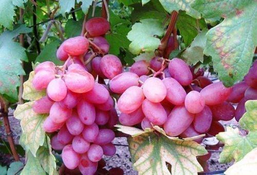 Винограл Франкенталь