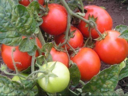 Кисть томата Красная Шапочка