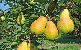 Выращивание груш сорта Вильямс