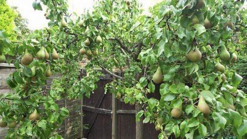 Созревание плодов Бере Боск
