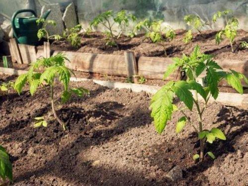 Высадка томатов Ракет в теплицу