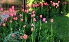 Лучшие сорта нежно-розовых тюльпанов
