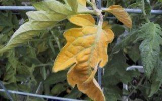 Причины желтизны листвы у помидоров