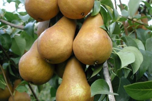 Плоды Бере Боск