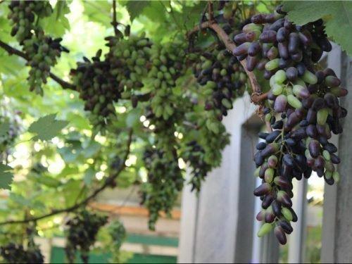 Выращивание винограда Сувенирный