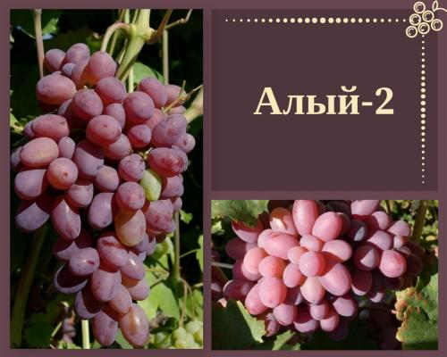Сорт Алый-2