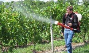 Когда обрабатывать виноград