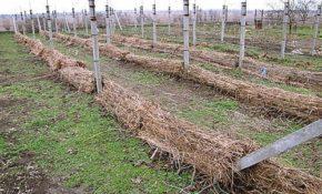 Как на зиму укрывать виноград