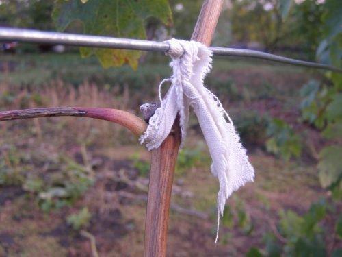 Подвязка кустов винограда