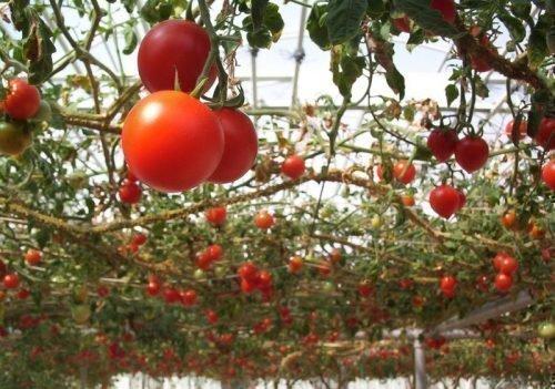 Плоды томата Спрут F1