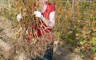 Как и когда высаживать виноград осенью
