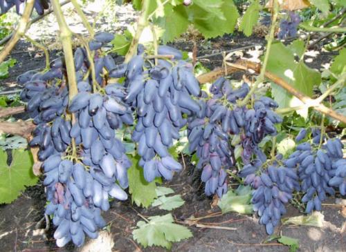 Урожайность сорта Сувенирный