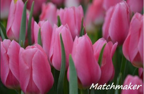 Матчмейкер тюльпан