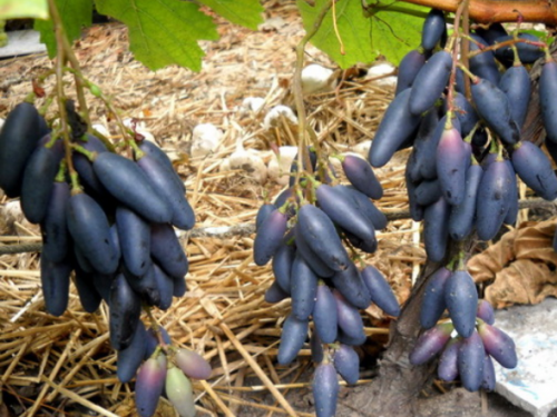 Первый урожай Сувенирного