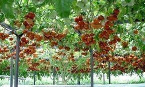 Секреты агротехники для томатов Спрут