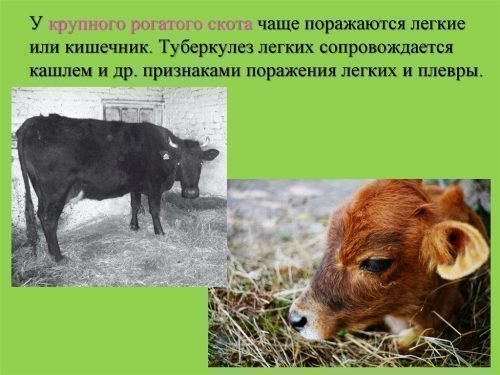 Туберкулез коров