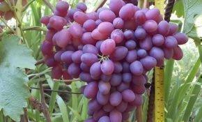 Выращивание винограда сорта Алый