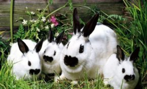 Порода кроликов Бабочка