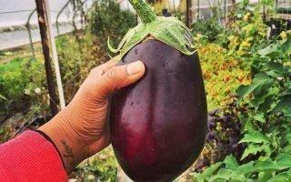 Выращивание баклажанов и уход за ними в теплице