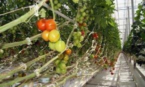 Чем болеют тепличные томаты и как их лечить