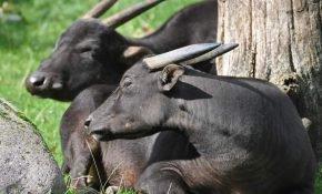 Вид буйволов аноа
