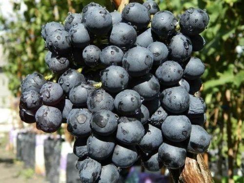 чем полезен черный виноград