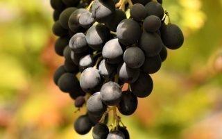 Что такое виноград