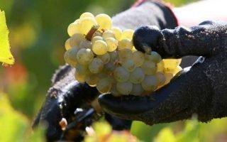 Как, чем и когда удобрять виноград