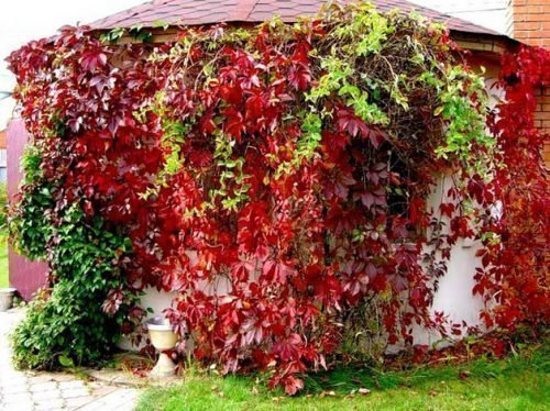 девичий виноград размножение черенками весной