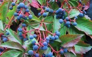 Размножение девичьего винограда
