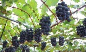 Советы по уходу за виноградом весной, летом и осенью