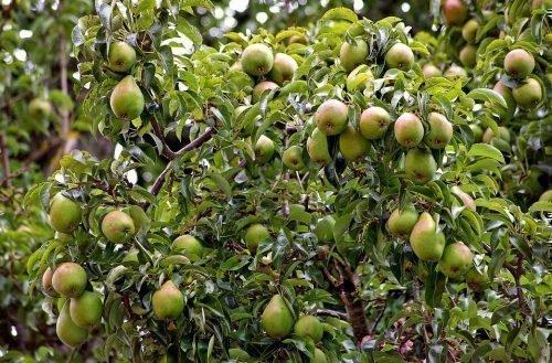 Урожай на дереве Памяти Жегалова