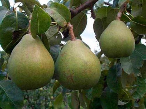 Плоды груши Памяти Жегалова