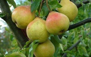 Тонкости выращивания груши Память Жегалова