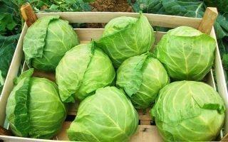10 способов хранения капусты на зиму