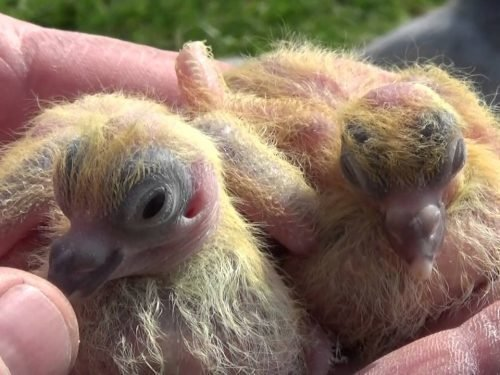 как размножаются голуби
