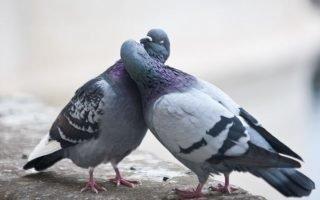 Правила разведения голубей